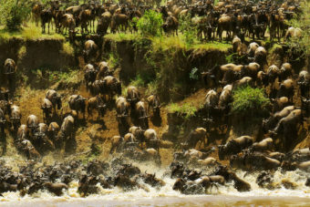 Wildebeest stampede in Mara River, Tanzania.