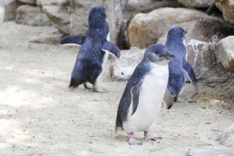Penguins in Oamaru, New Zealand.