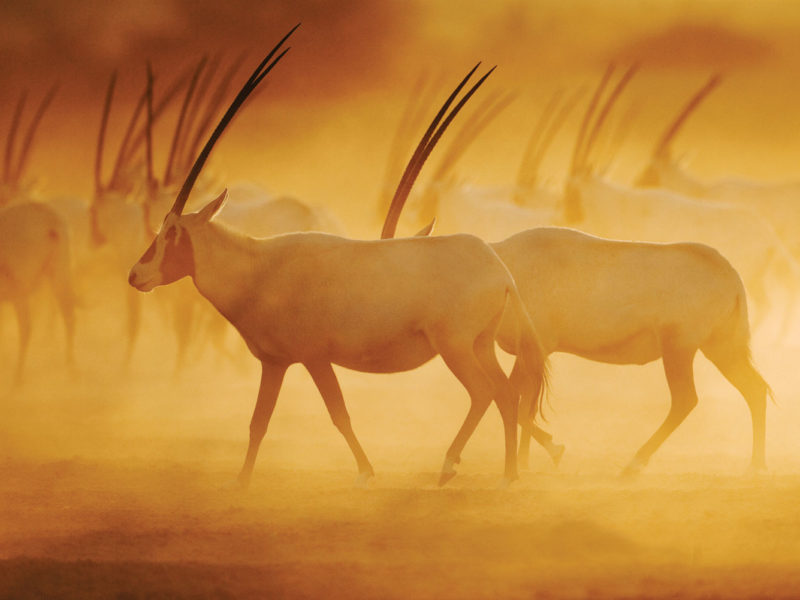 The majestic Arabian Oryx on Sir Bani Yas Island.