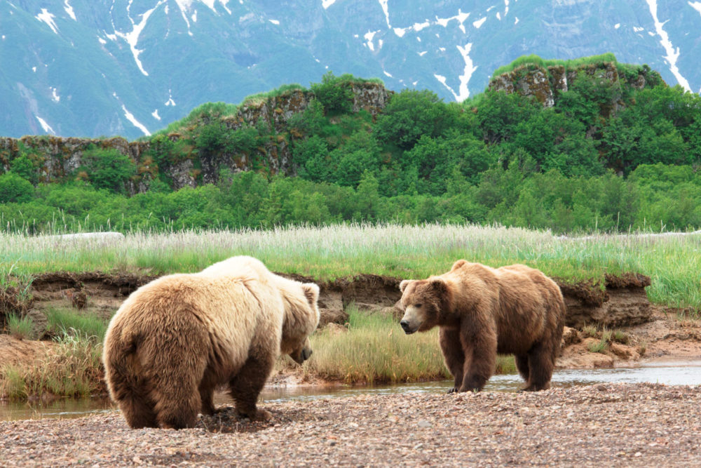 Grizzly bear stand-off, in the wilds of Alaska.