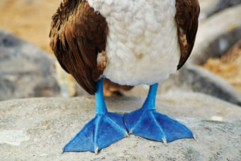 Blue Footed Booby on Genovesa Island in the Galapagos archipelago.