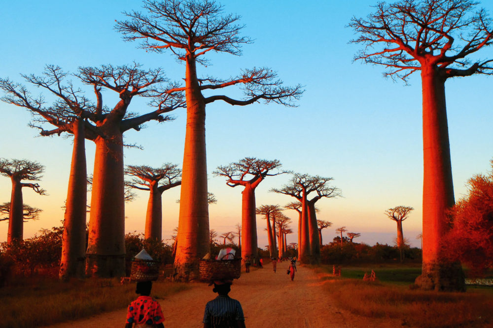 Baobab Alley in Madagascar, Africa, by Kevin Fairburn.
