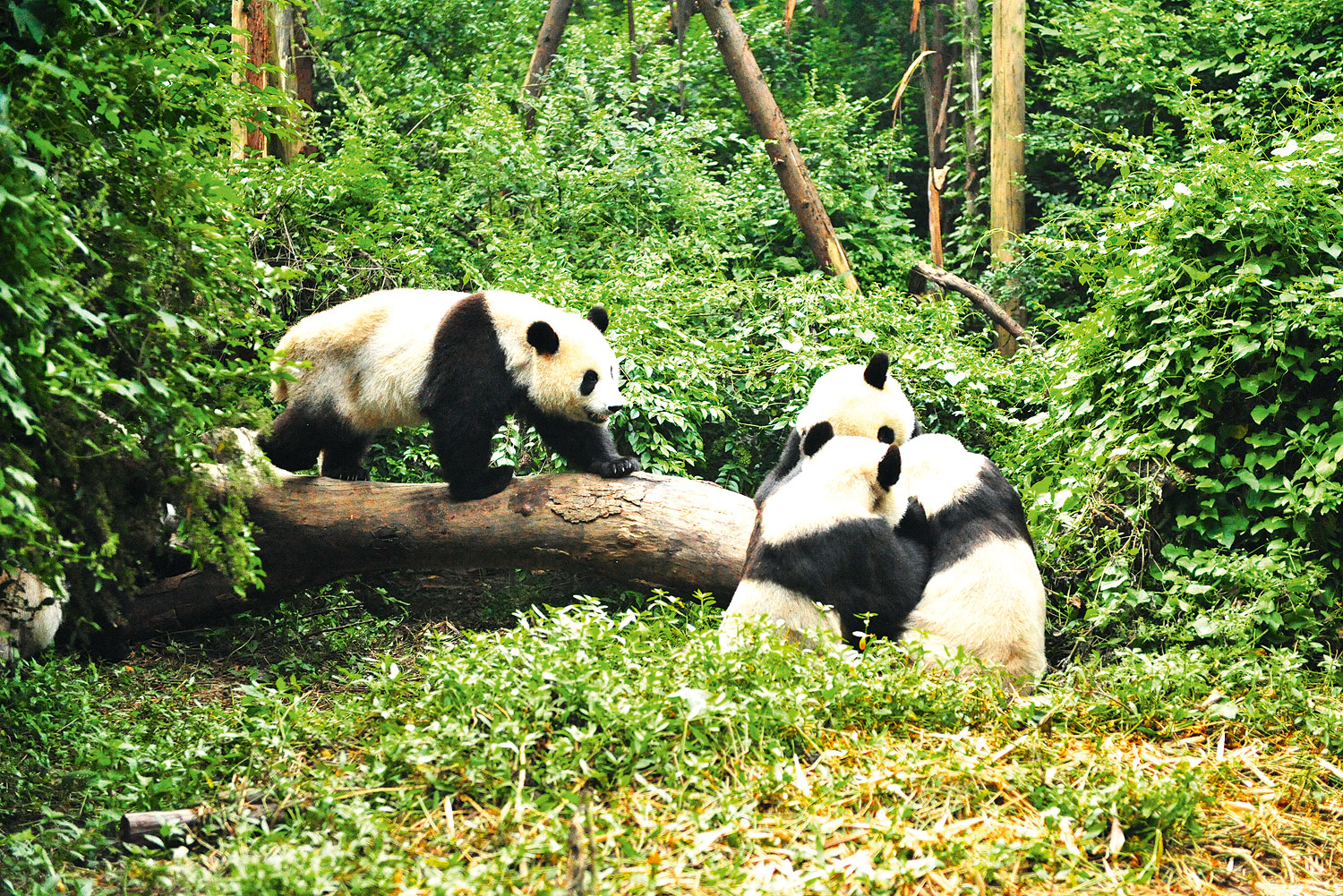 Chengdu Research Base of Giant Panda Breeding (or Chengdu Panda Base), which lies north of the city
