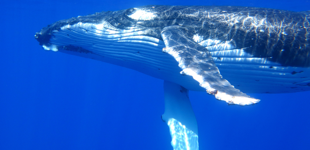 Swim with humpback whales in the warm, tropical waters around Tonga