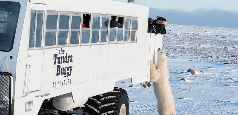 Come face-to-face with polar bears with Frontiers North Adventures and their Tundra Buggy