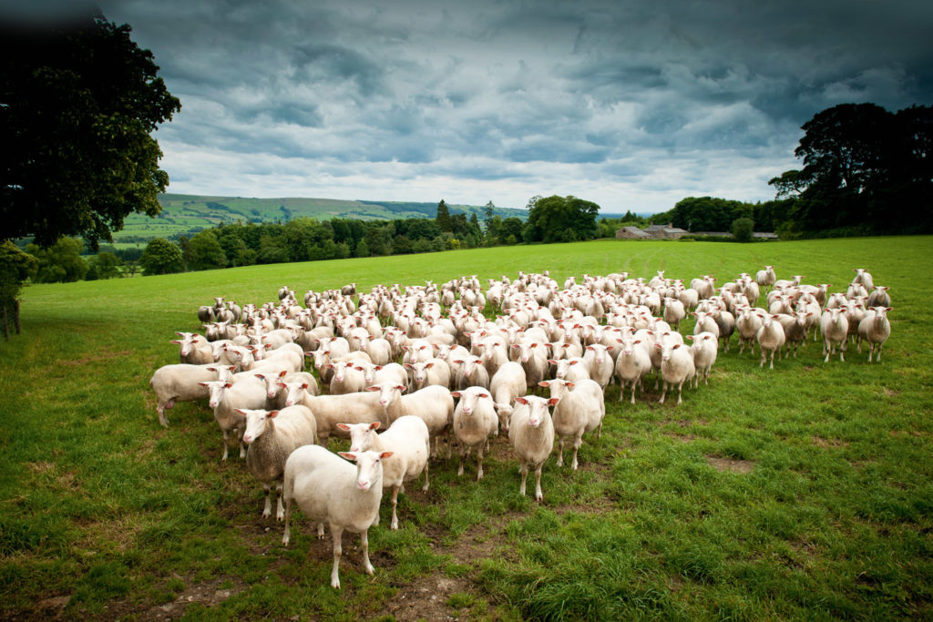 The ewes behind the award-winning ewes milk cheese made in Yorkshire, England.
