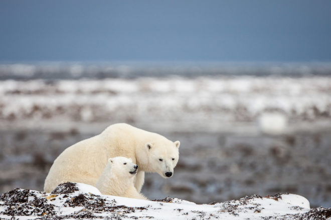 Spotting polar bears in the wild, ranked #22 in our countdown of '100 Ultimate Travel Experiences of a Lifetime'.