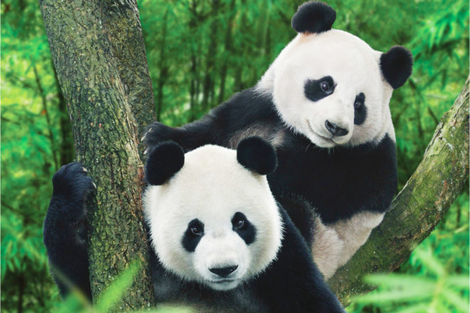 Giant pandas in China, ranked #53 in our countdown of '100 Ultimate Travel Experiences of a Lifetime'.