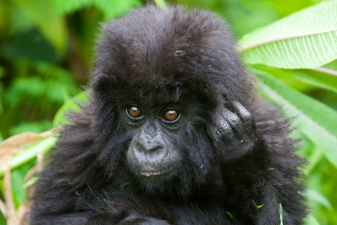 Mountain gorillas of Africa, ranked #3 in our countdown of '100 Ultimate Travel Experiences of a Lifetime'.
