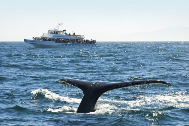 The opportunity to interact with whales when on holidays has become a huge drawcard to travellers, but it is definitely a case of look but don't touch in order to keep your impact low according to responsibletravel.com. Here's what to know before booking.