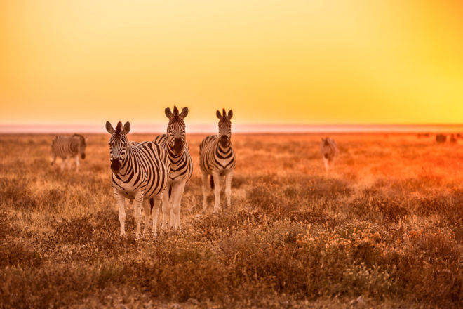 Zebras in the South African wilderness.