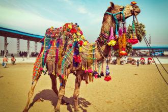 Camel Wrestling Championship in the Aegean region, Turkey