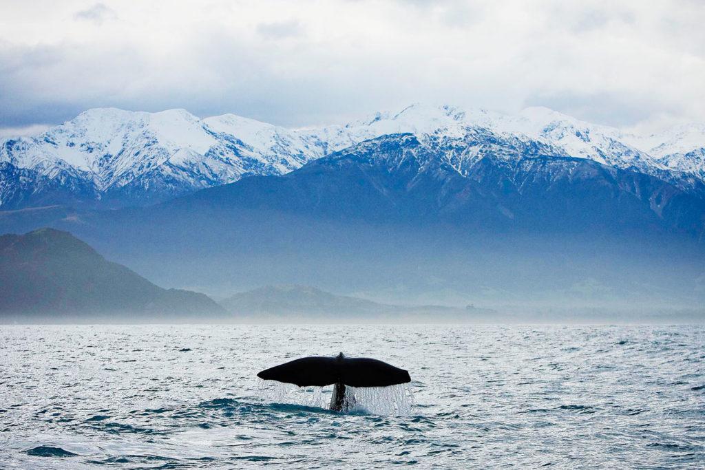Whale watching in Kaikoura, NZ.