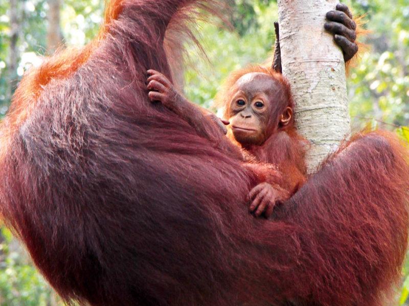 Orang-utans of Borneo.