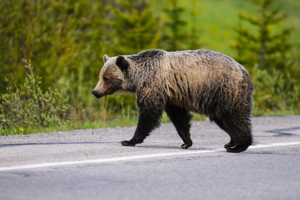 Grizzly bear in Alberta, Canada.