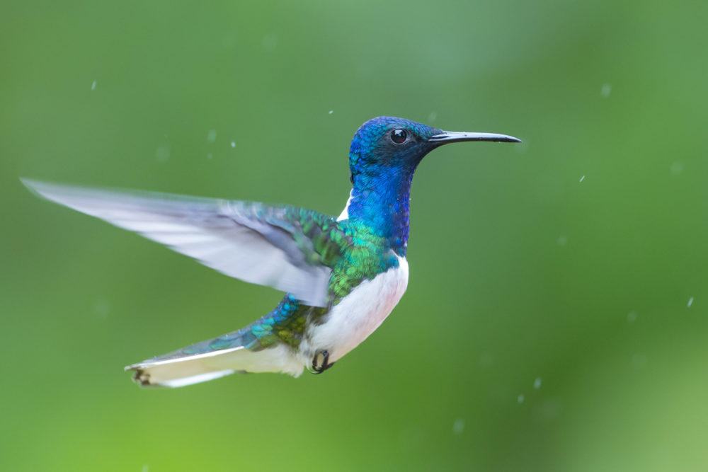 Hummingbird in the Ecuadorian Amazon.