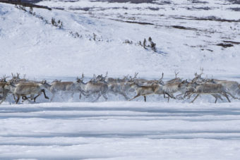 Caribou in motion