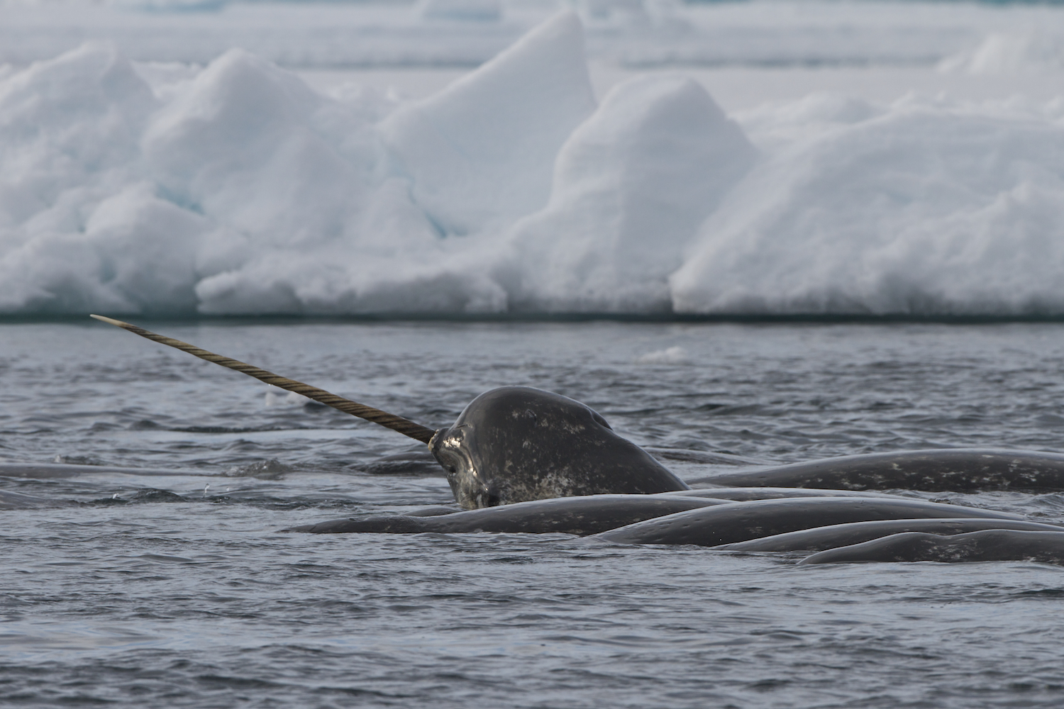 Narwhal Pod With Tusk Todd Mintz Img