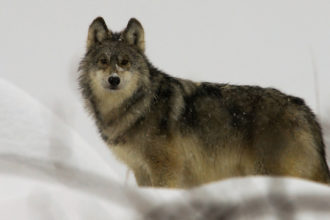 A Canadian wolf