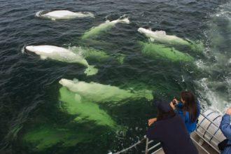 Beluga whale watching near Churchill, Manitoba