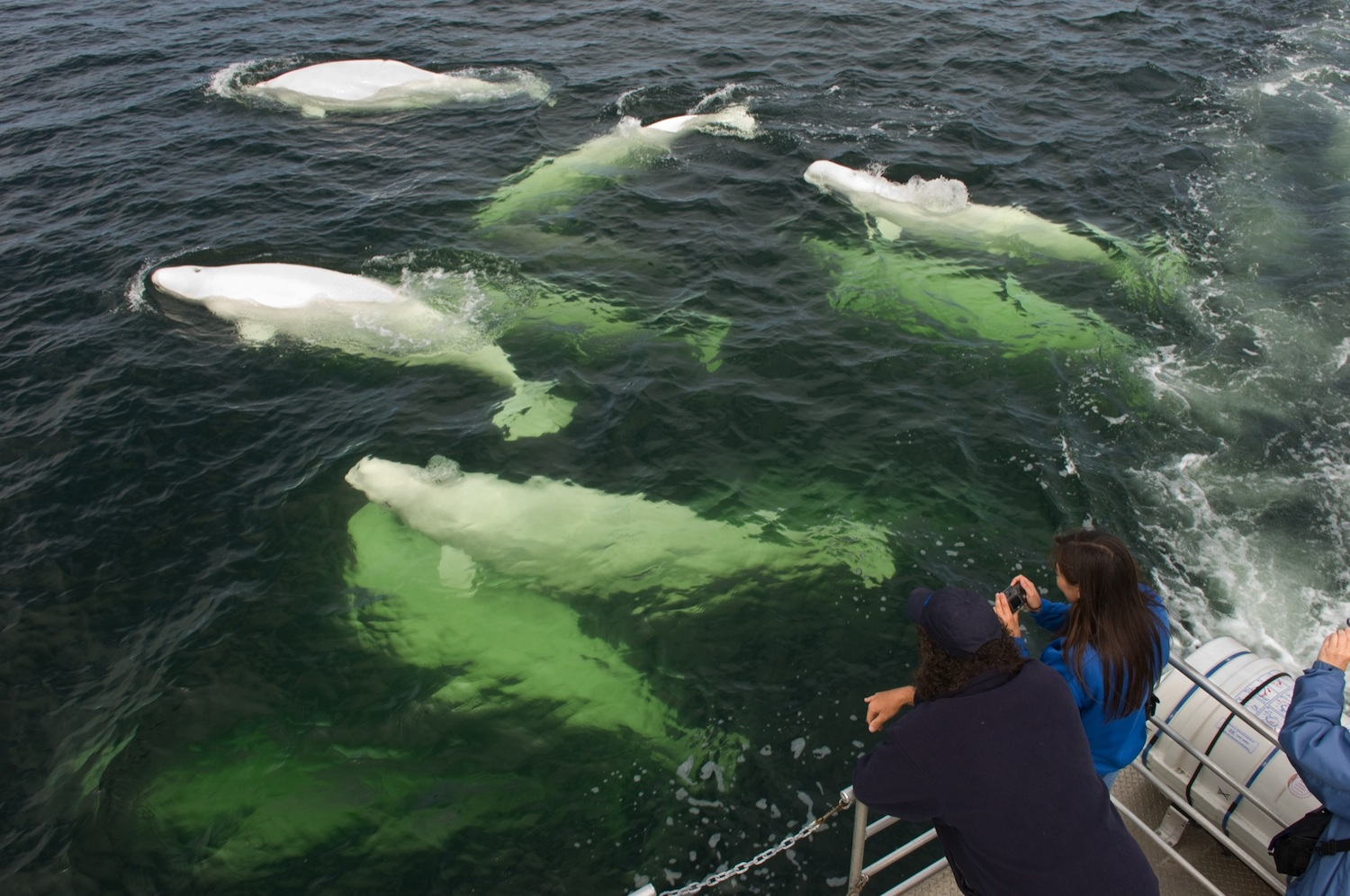 Get Wet With Canadian Beluga Whales