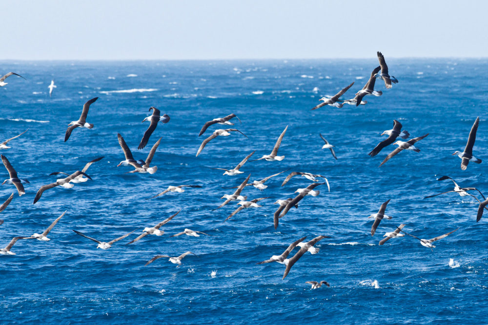 Flock of albatross birds on New Zealand's Taiaroa Head.