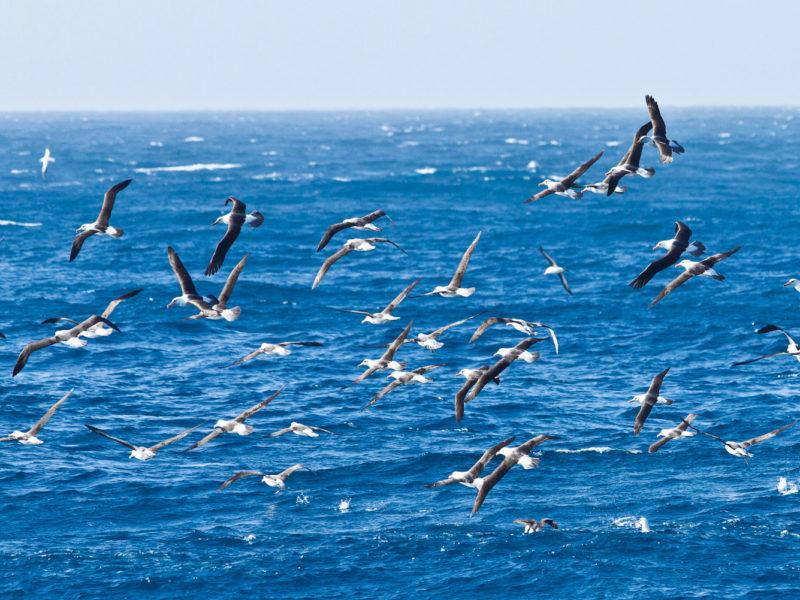 Flock of albatross birds on New Zealand's Taiaroa Head.