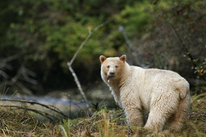 The elusive Spirit Bear