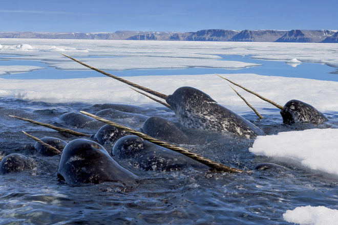 A pin-cushion of narwhal