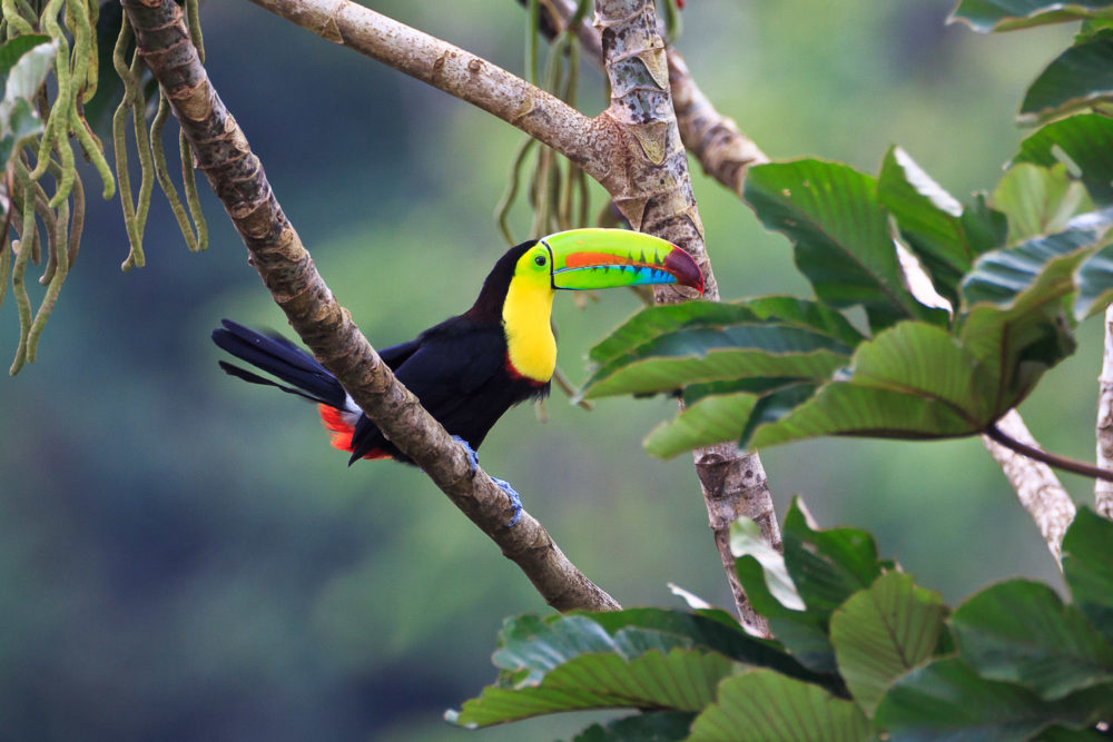 A rainbow-billed toucan is a vibrant sight in the jungle.