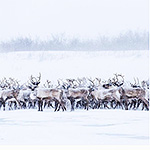 Reindeer migration Northwest Territories Canada