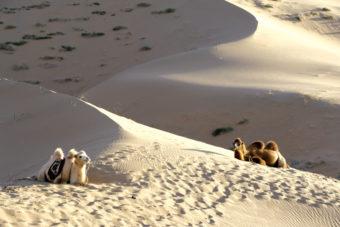 Camels, Gobi desert, Mongolia