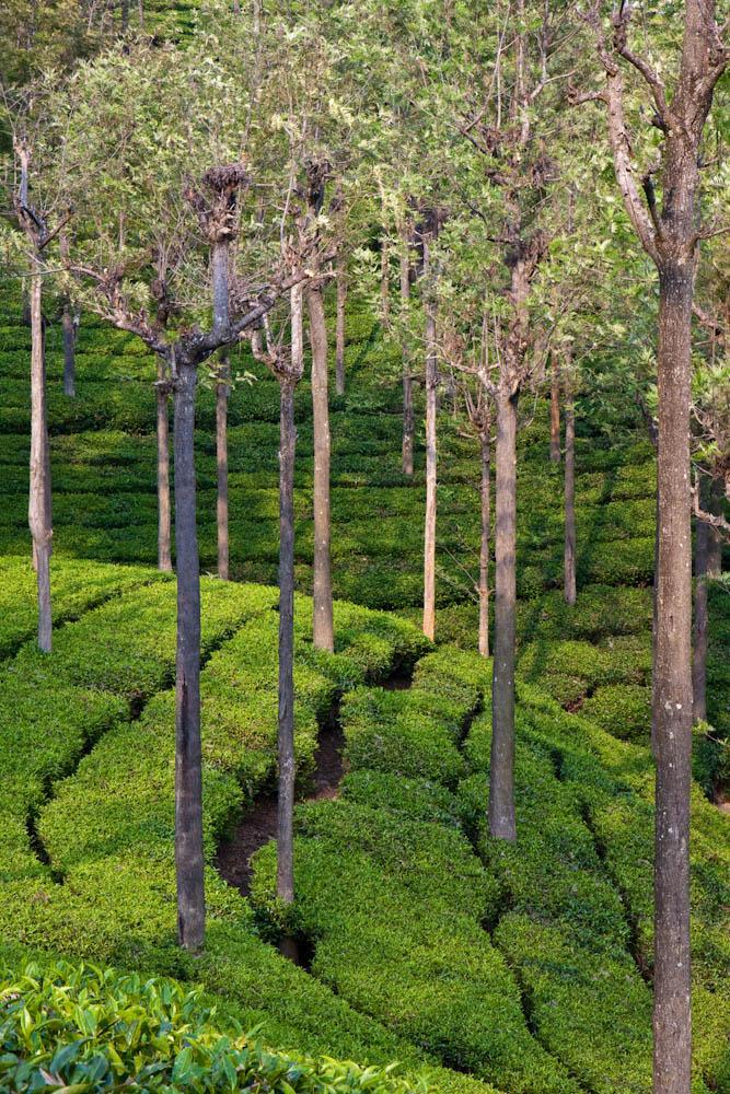 Tea gardens, Coonoor, India