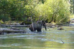 bear salmon ecotour mitchell river cariboo mountains british columbia