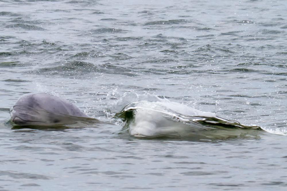 beluga whale swimming hudson bay arctic water canada Manitoba