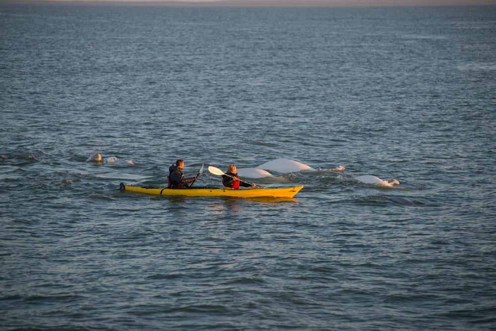 beluga whale swimming hudson bay arctic water canada kayaking Manitoba