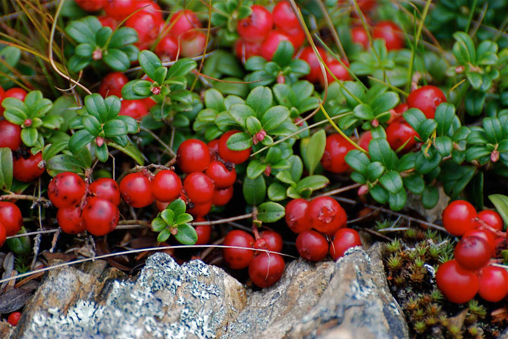 newfoundland food foodies eat dine traditional patridgeberry patridgeberries jam health
