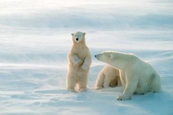 Churchill Manitoba Polar bears