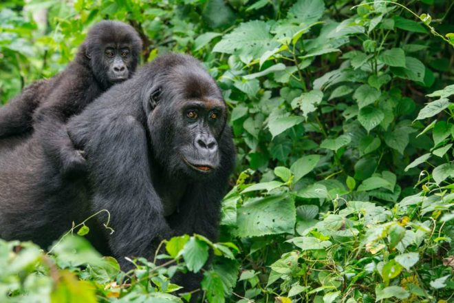 Eastern Gorilla with baby riding on her back