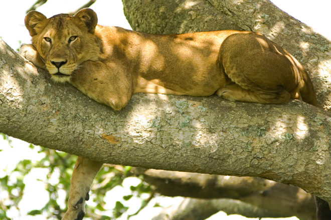 Lioness in the tree tops