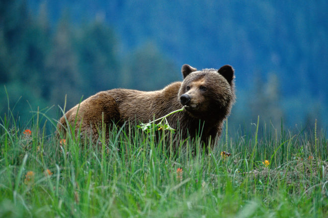 Young grizzly enjoys the spring forage,slide119