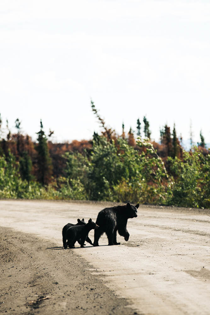 Yukon roads wildlife black bear