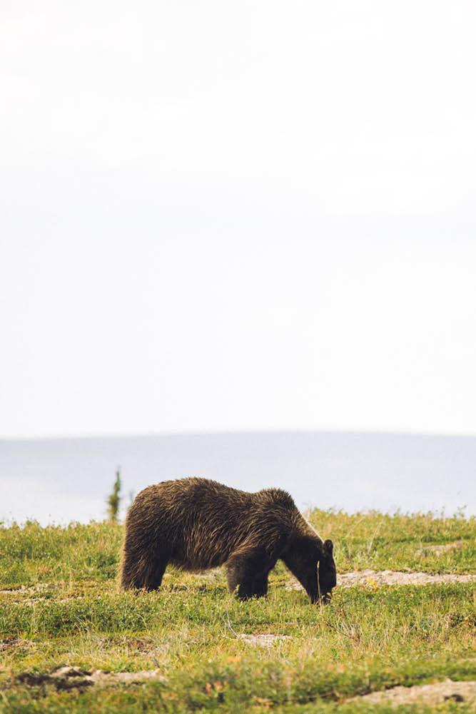 Grizzly bear Yukon
