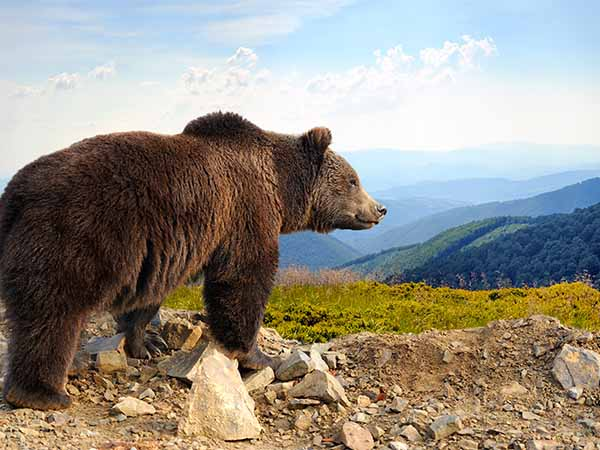 Yukon Brown Bears