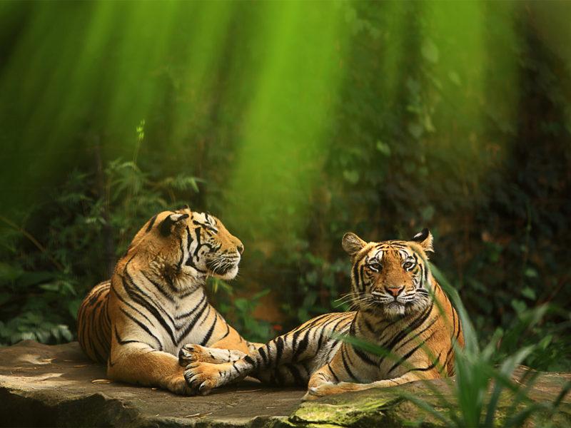 tigers bali zoo