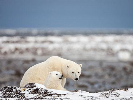Polar Bears Alaska, Greenland, Canada