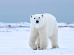Churchill Wild Polar Bear Tour